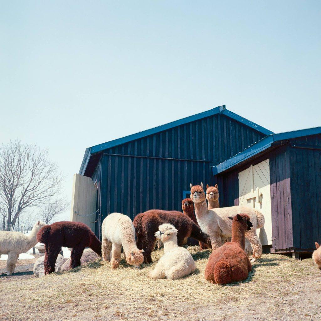 Alpaca Farm Baie Saint Paul Exchange Student Guide