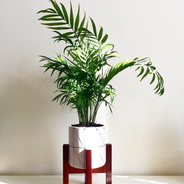 parlour palm indoor houseplant resort vibe