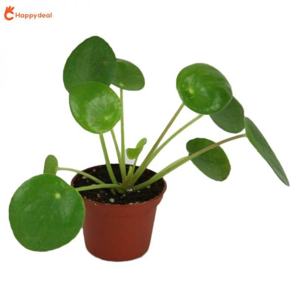 chinese money plant indoor home and offices fengshui best indoor plant