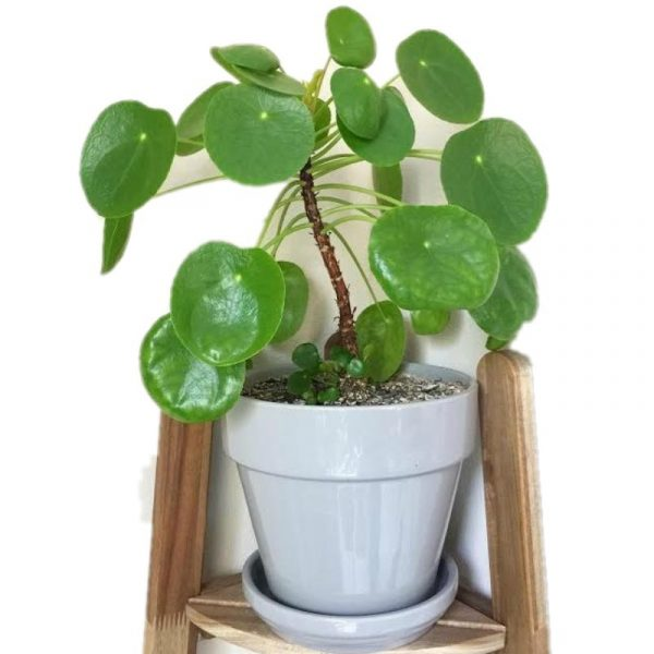 chinese money plant feng shui pilea peperomioides