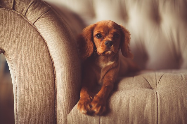 dog puppy on couch
