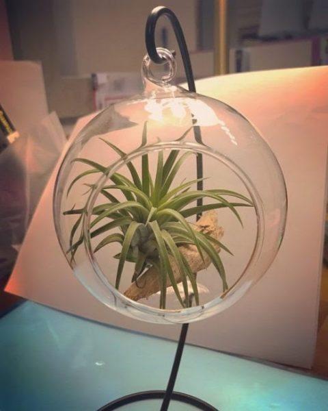 tillandsia air plant no soil best indoor plant