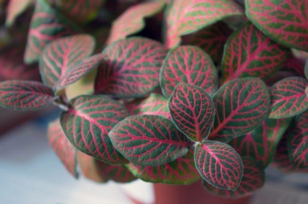 nerve plant fittonia argyroneura vein pattern leaf best indoor plant