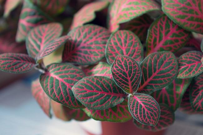 nerve plant best indoor plants