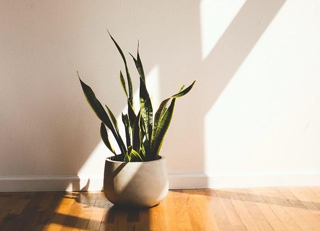 Snake plant indoor best indoor plants home offices