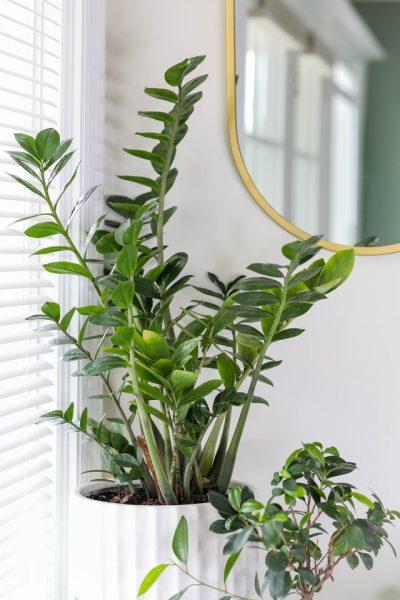 zz plant zamioculcas zamifolia house plant