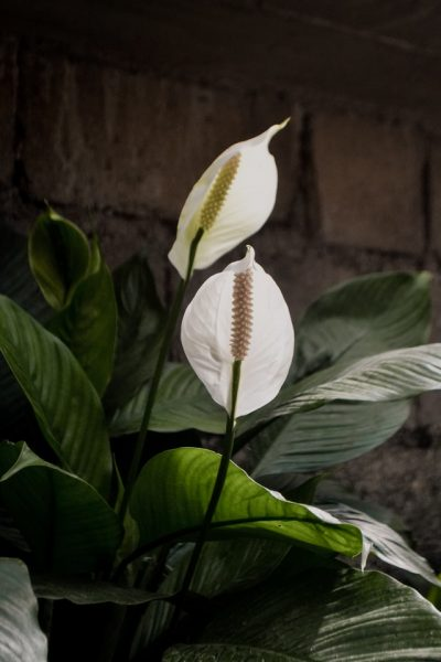 peace lily house plant air purifying