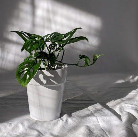 swiss cheese plant monstera adansonii best indoor plant holes