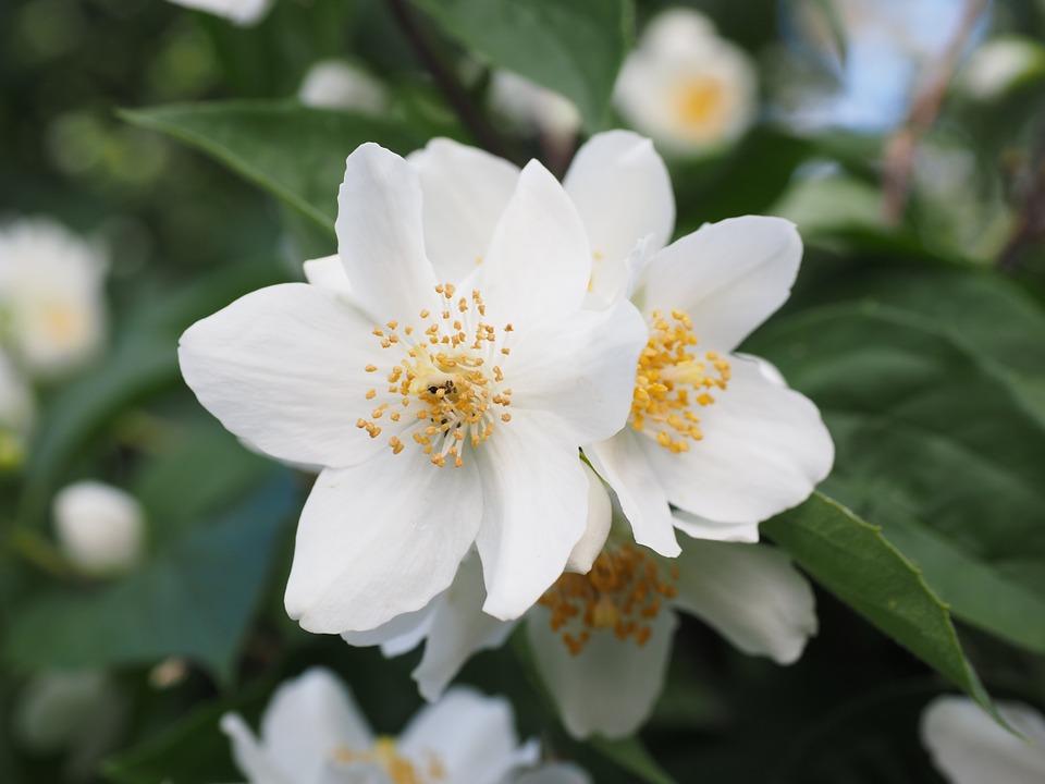 jasmine aromatherapy best essential oil