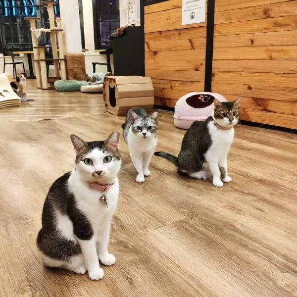 the cat cafe things to do in singapore with kids