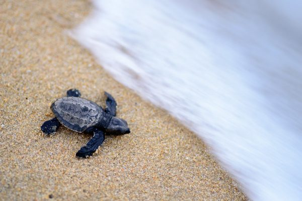 olive ridley turtle road trip from singapore