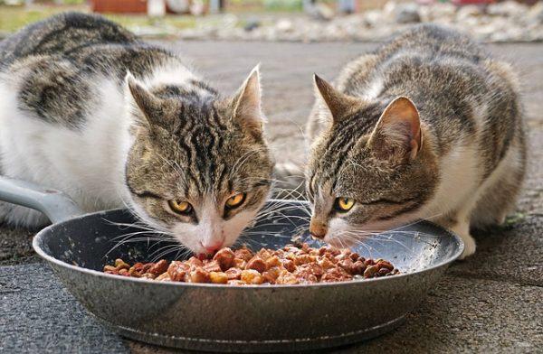 homemade cat food recipe raw chicken liver salmon