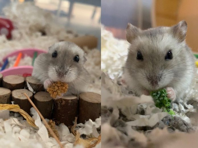 featured hamster collage how to take care of hamsters