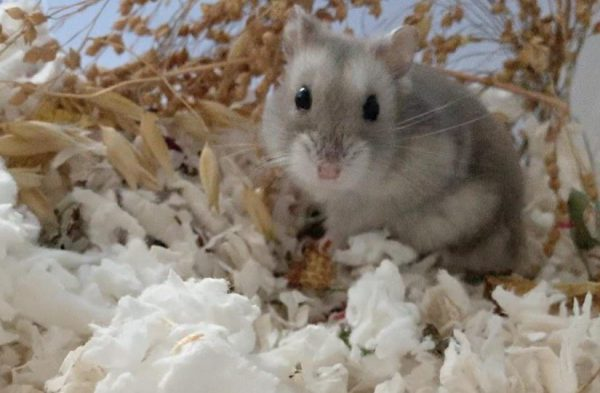 idle hamster how to take care of hamsters