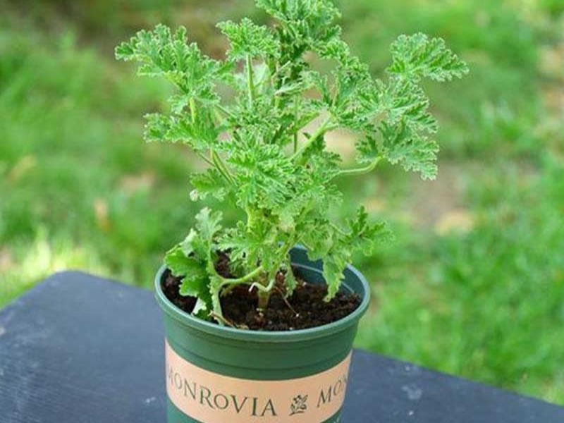 citronella plant natural mosquito repellent