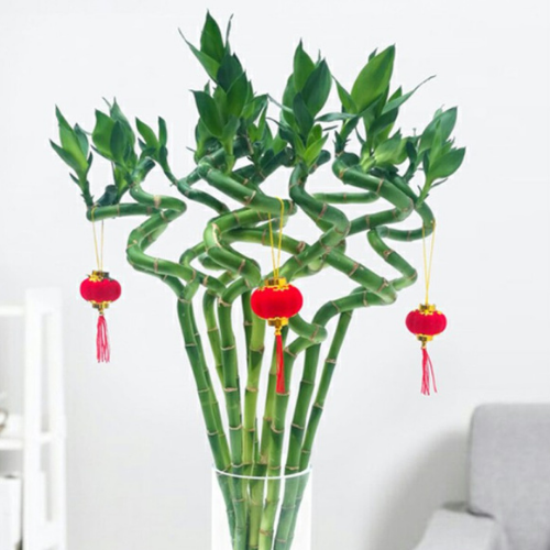 Chinese New Year lucky bamboo