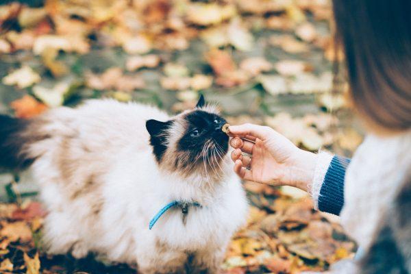 best dry cat food ragdoll feeding kibbles autumn