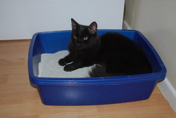 black cat in litter box